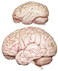 Sheep Brain Anatomy Game Williamcalvin Com Brainforallseasons Img Bonobolh