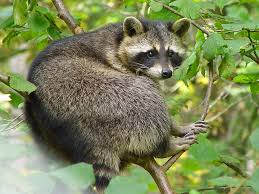 How To Keep Deer Out Of Vegetable Garden by Getting Rid Of Raccoons How To Keep Raccoons Away From A Garden