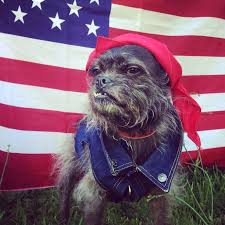 affenpinscher ewok nothing says freedom like a dog that looks like an ewok crossed