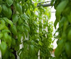 hydroponic farming in focus a small greenhouse with big crop