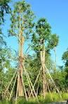 ขายพญาสัตบรรณ ราคาถูก สวนสำราญพันธุ์ไม้ สระบุรี