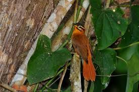 Limpa-folha-coroado constrói o ninho em barrancos no interior da ...