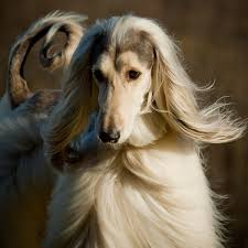 afghan hound long haired dogs get to know the afghan hound exotic and elegant hunter