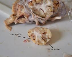 Sheep Brain Anatomy Game A Of Fish Sheep Brain Dissection