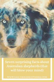australian shepherd qualities breeds page 2 of 3 daily dog discoveries
