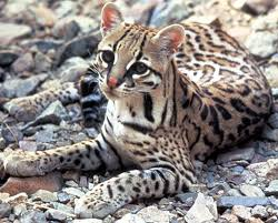 The Ocelot, hunted nearly to