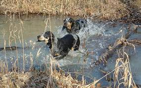 training a bluetick coonhound to hunt active bluetick coonhound as pet about pet life