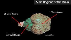 Sheep Brain Anatomy Game The Brain