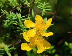 Tree With Bright Yellow Flowers - st maarten st martin national flower is the lantana also known