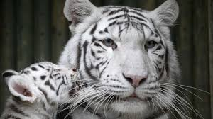 BBC News - Rare white tiger cubs unveiled at Czech Republic zoo