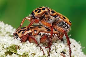 Beetle   Wikipedia Mating edit