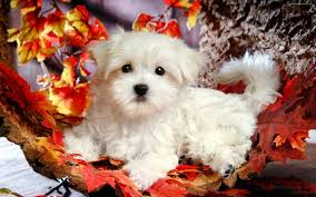 cute fall wallpaper backgrounds in gallery puppy wallpaper backgrounds 38 puppy hd wallpapers