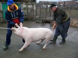 Tragôidía porcului ca  maine  este Sf Bartolomeu al suidelor adica Ignatu Images?q=tbn:ANd9GcSvRxPlyyIDsoMYi6wyB4j8qrCHtKO9wNHoSwQiAIPG_2re6-pFww