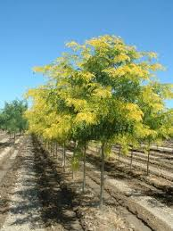Tree With Bright Yellow Flowers - sunburst honeylocust gorgeous especially the bright yellow in