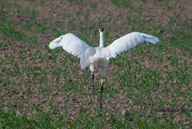 the coiffed whooping crane in the field with operation migration