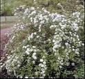 Bridal Wreath <b>Spiraea</b>