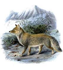 Tibetan sand fox
