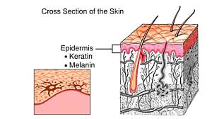 Structure Of Human Anatomy How The Skin Works Animation Structure And Function Of The Human