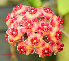 HOYA, Wax Flower » Orchids-