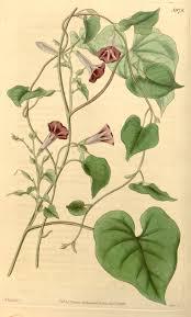 Ipomoea aristolochiaefolia