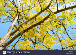 Tree With Bright Yellow Flowers - beautiful yellow flowers on tree of purging cassia or ratchaphruek
