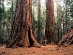 Positive Energy-Sequoia Trees | Deborah Johnson