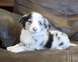3 australian shepherd mix puppies for adoption mini aussie jack puppies pautsch farms