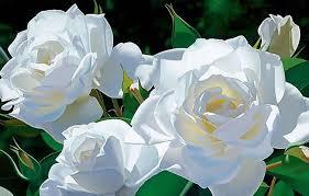 صور ورود بيضاء جميله جدا images?q=tbn:ANd9GcSzHmaA7HIDE8tQWS3cM0let4aWhfpP0xAHN5kn-REZtUdwBprd