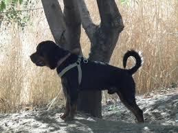 روتوایلر سگی خشن