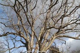 White Oak Bark Bark Janet Davis Explores Colour