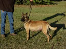 belgian sheepdog breeders in texas collier kennels finished bird dogs dallas registered puppies