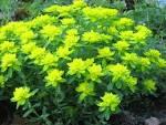 <b>Euphorbia</b> epithymoides