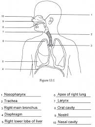 Anatomy And Physiology Of Lungs Human Anatomy Labeling Worksheets Respiratory Anatomy Labeling