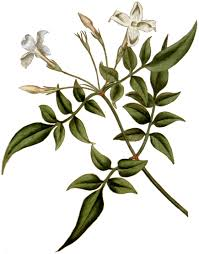 Common jasmine