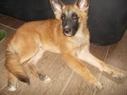 belgian sheepdog chow mix belgian malinois shepherd cebu kisha and her pups