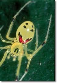 معلومه العنكبوت المبتسم والسعيد