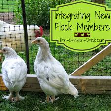 backyard chickens for sale the chicken quarantine of backyard chickens when and how