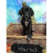 bluetick coonhound oregon bluetick coonhound for adoption