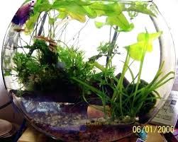 betta fish bowl with plant homegrown bamboo plant betta fish bowl