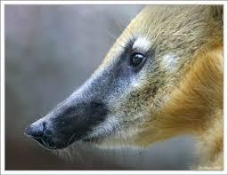 В зооуголок в Детском парке Симферополя доставили самца носухи по кличке Носик.