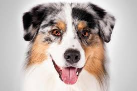 australian shepherd yorkshire terrier mix australian shepherd dog breed information american kennel club