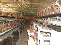 Manfaat Vitamin bagi Ayam Petelur
