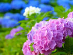 「紫陽花」の画像検索結果