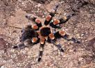Image result for Brachypelma smithi