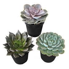 Succulents Pots For Sale by Succulents U0026 Cactus Plants Garden Plants U0026 Flowers The Home Depot