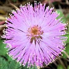 Mimóza virágzat