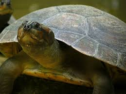 Arrau turtle