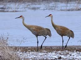 something wild the sandhill cranes of new hampshire new