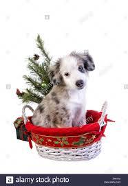 cute christmas australian shepherd puppy in basket under the tree