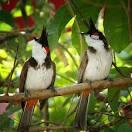 นกกรงหัวจุก สัตว์เลี้ยง นกกรงหัวจุก นกสีสันสวยงาม เสียงไพเราะ